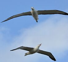 Albatrosses in flight around Otago by mike99