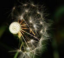 Dandelion by Karen  Betts