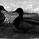 I Love you my little Ducky! by Susanne Correa