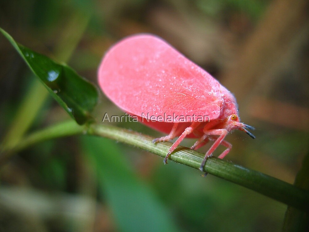 Pink Flatid Bug by Amrita Neelakantan