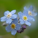Forget Me Not in Macro by taiche