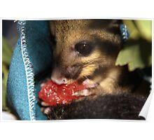 Walnut  - The Australian brushtail possum Poster