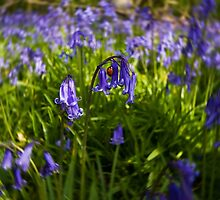 In the Bluebell Wood by Nigel Bangert