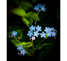 Forget Me Nots...please Photographic Print