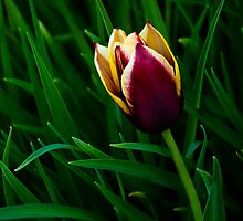 Tulip at Dusk by Charles Plant