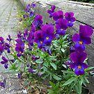 Violets by ienemien