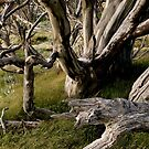 Snow Gum by Keith Rowell