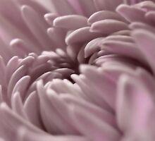 Soft Lavender  by Carla Jensen
