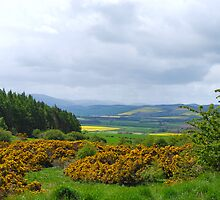 Cheviots by John Nelson