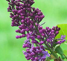 Lilacs Through My Window by Scott Ruhs