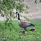 Mom And Baby Goslings by kkphoto1