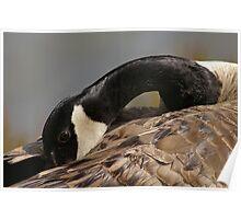 Canada goose, Mud Lake, Ottawa, Ontario Poster