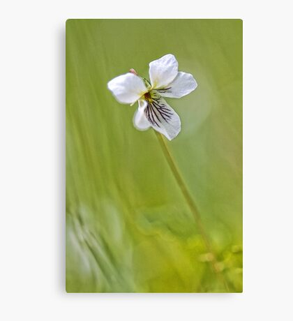 -Sweet White Violet- Canvas Print