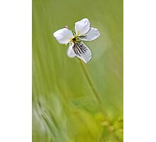 -Sweet White Violet- Photographic Print