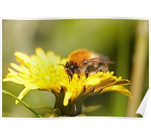 Bombus pascuorum, Common carder bumble bee Poster
