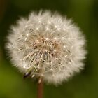 Dandelion seed head by Jon Lees