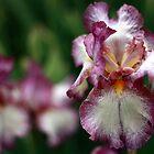 Nayne's Iris by Avena Singh