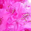 Pink Rhododendron by Kashmere1646