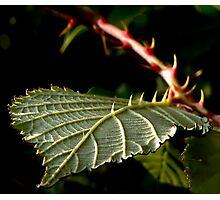 Thorn of Blackberry Photographic Print