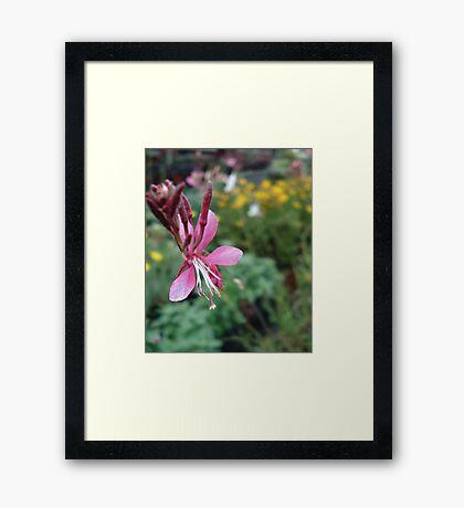 Gaura Framed Print