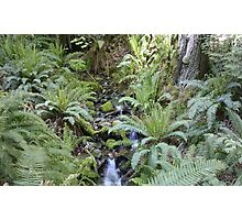 Mountain Stream with Ferns and Sunlight Photographic Print