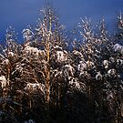 snow on birches by Kent Tisher