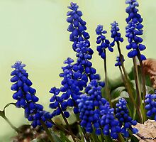 Ode to Copenhagen Blue.........  Grape Hyacinth by Brenda Dow
