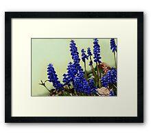 Ode to Copenhagen Blue.........  Grape Hyacinth Framed Print