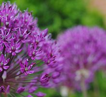 Purple Beauty (Allium) by goddarb