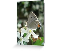 Gray Hairstreak on Jasmine Greeting Card