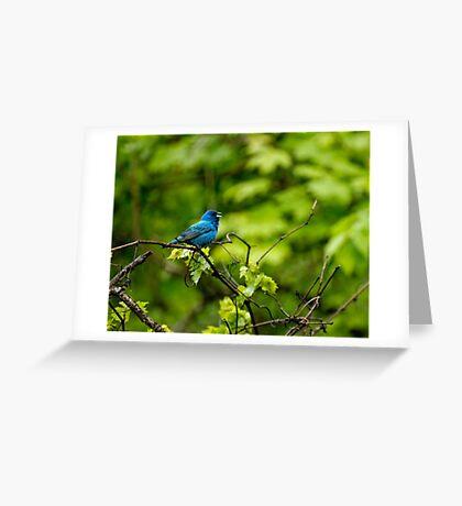 Indigo Bunting - Passerina cyanea Greeting Card