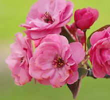 Crabby Blossoms  by Nicole DeFord
