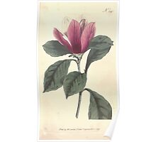 The Botanical magazine, or, Flower garden displayed by William Curtis V11 V12 1797 1798 0065 Magnolia Purpurea Purple Magnolia Poster