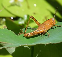 Cricket on a lily pad by Greta Perriman