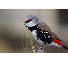 Diamond Firetail Photographic Print