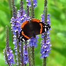 The Admiral on Blue Vervain by lorilee