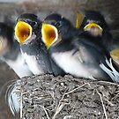 Swallow babies by Pauline-W