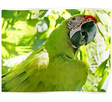 Great Green Macaw Poster
