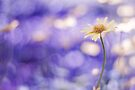 more bokeh than you can shake a flower at by Purplecactus