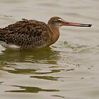 black tailed godwit with water pistol by Grandalf