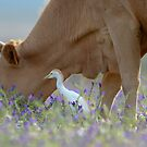 the egret and the cow by Calvin Smith