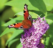 Peacock Butterfly on Buddleia by lmaiphotography