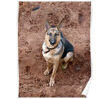 German Shepherd dog posing for the camera Poster