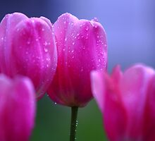 Misty Tulips by Brian Dodd