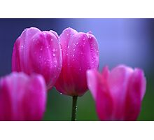 Misty Tulips Photographic Print