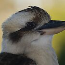 Handsome Kooka by Anna D'Accione