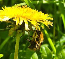 Dandelion Bee  by Trevor Kersley