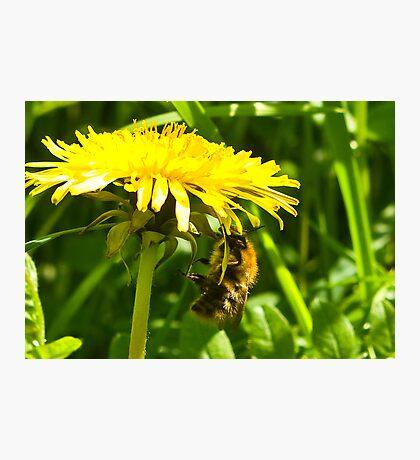 Dandelion Bee  Photographic Print