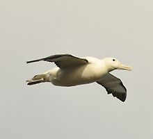 Albatross in flight around Otago by mike99