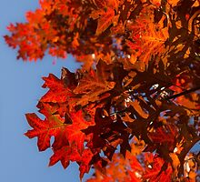 Radiant Reds - Oak Leaves and Brilliant Blue Sky by Georgia Mizuleva